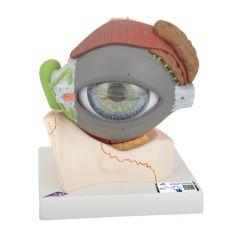 3B Scientific™ Eye Model with Eyelid, Master Series™ - includes 3B Smart Anatomy