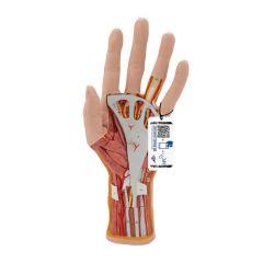 3B Scientific™ Life-Size, Three-Part Hand and Wrist Model - includes 3B Smart Anatomy