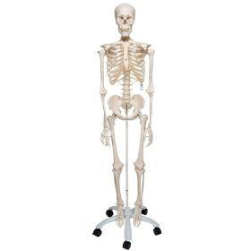 3B Scientific™ Adult Human Skeleton - includes 3B Smart Anatomy